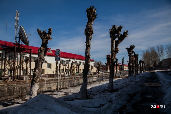 Обрезка деревьев нужна. Но правильно ли ее делают в Тюмени?