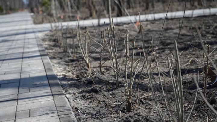 В Ростове с прошлой осени не прижились 20% деревьев — при норме в 15%. Чем объяснили это власти?
