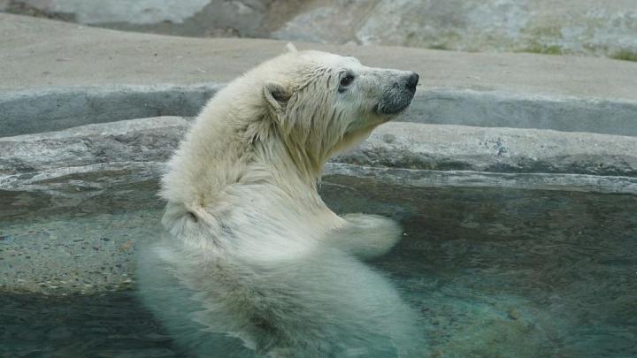 Спасенная на севере края медведица Хатанга переезжает из московского зоопарка в Екатеринбург