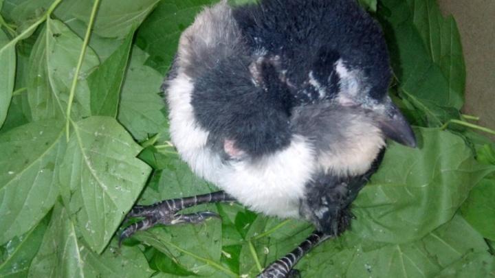 Посадил в ведро и полез на дерево: екатеринбуржец спас выпавшего из гнезда птенца сороки