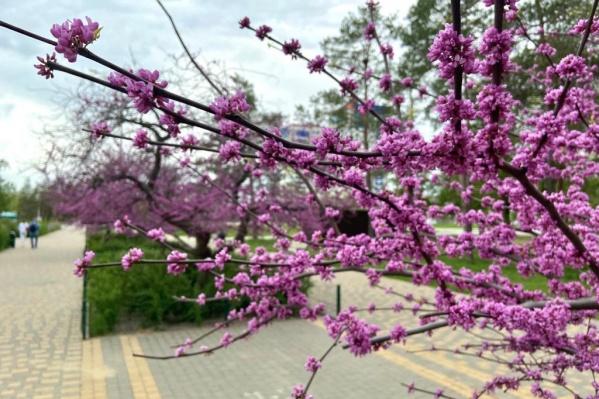 В настоящий момент в парке цветут все 26 сакур