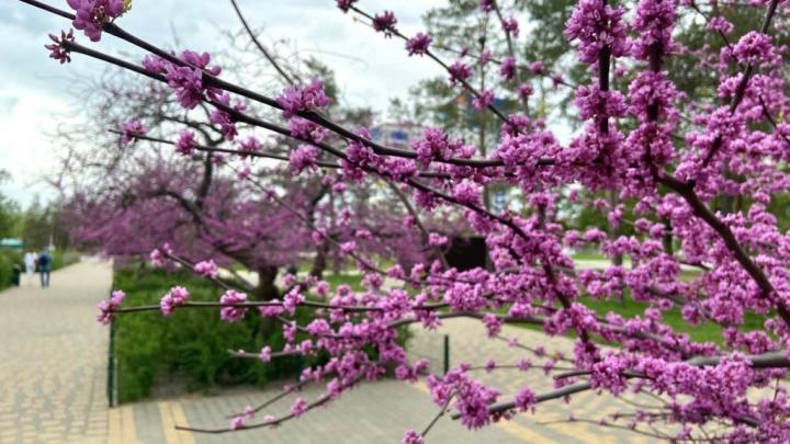 Четыре дерева будем спасать: в Волгоградском ЦПКиО расцвели два десятка сакур