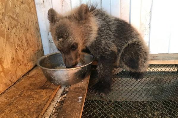 Мужчина утверждал, что нашел медвежонка зимой и сначала подумал, что перед ним собака