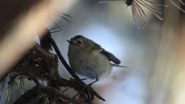 Редкая удача: самую крошечную птичку в нашей стране сфотографировали на юге края