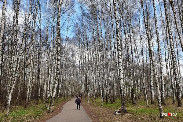 Благоустройство Павловской рощи в Ярославле запланировано на 2022 год