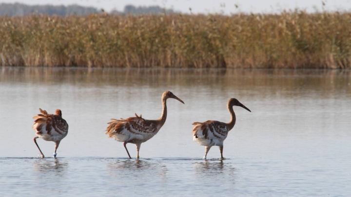 В Тюменской области нашли 20 мертвых пеликанов. Они могли заразиться птичьим гриппом