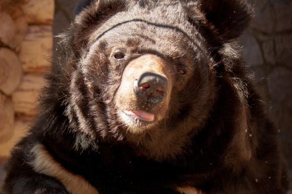 Гималайский мишка Харитон живет в челябинском зоопарке уже 25 лет