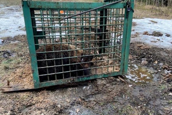 Медведя использовали для того, чтобы натаскивать охотничьих собак