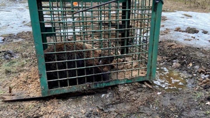 Хозяин медведя, искалеченного на притравочной станции под Челябинском, заявил, что выпустил животное на волю