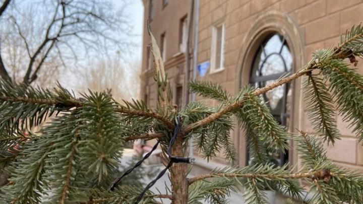 В Волгограде вандалы обломали голубые ели у кафе