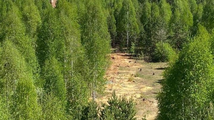Прокуратура потребовала возбудить уголовное дело после вырубки деревьев в «Парковом» на миллион рублей