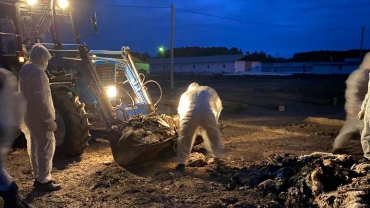 «Полторы тысячи гусей уже сожгли»: в Челябинской области произошла вспышка птичьего гриппа