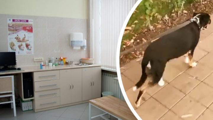 В Новосибирск из Краснодара привезли двух собак, чтобы поставить на искусственные лапы. Как они себя чувствуют