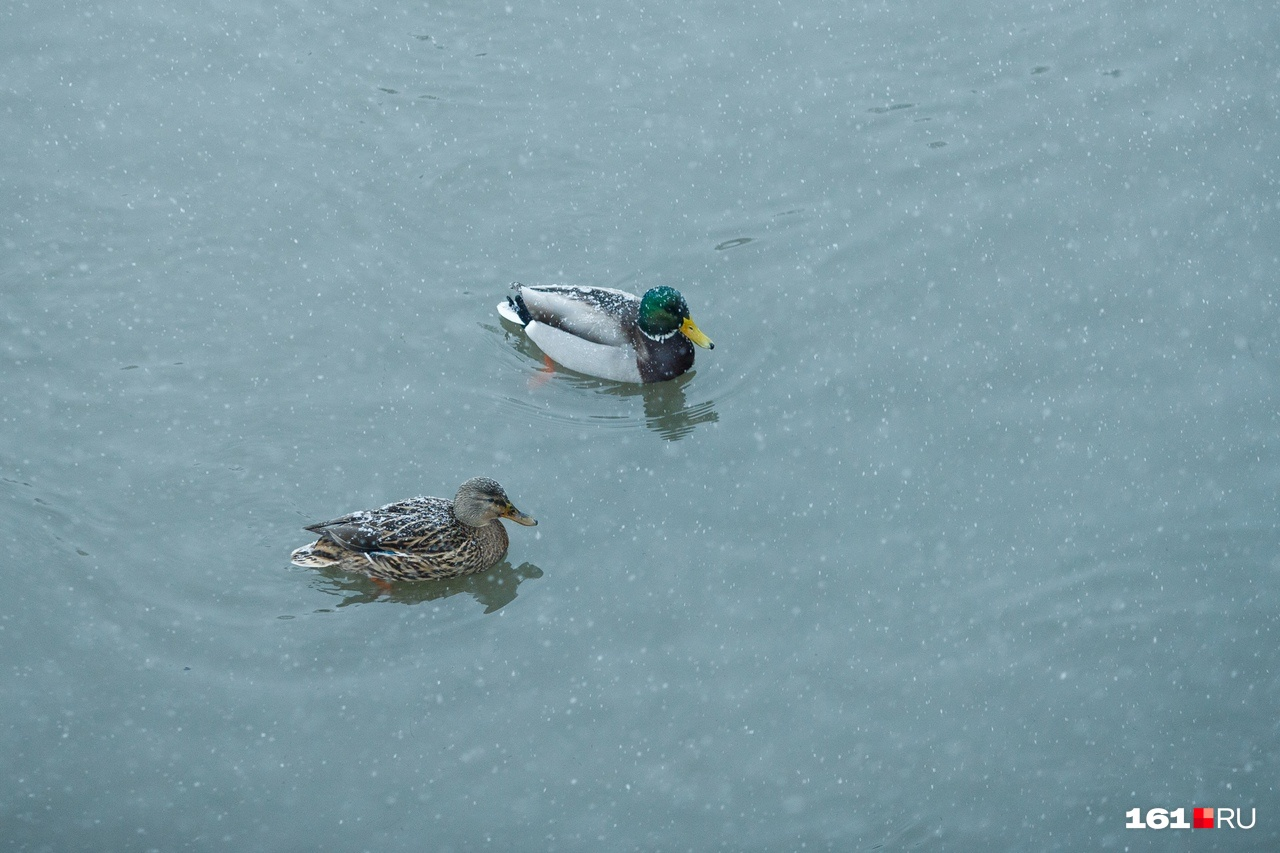 Не смутили снег и метель донских птиц