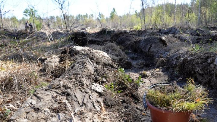 В Кургане в районе Голубых озер высадили 8тысяч саженцев сосны