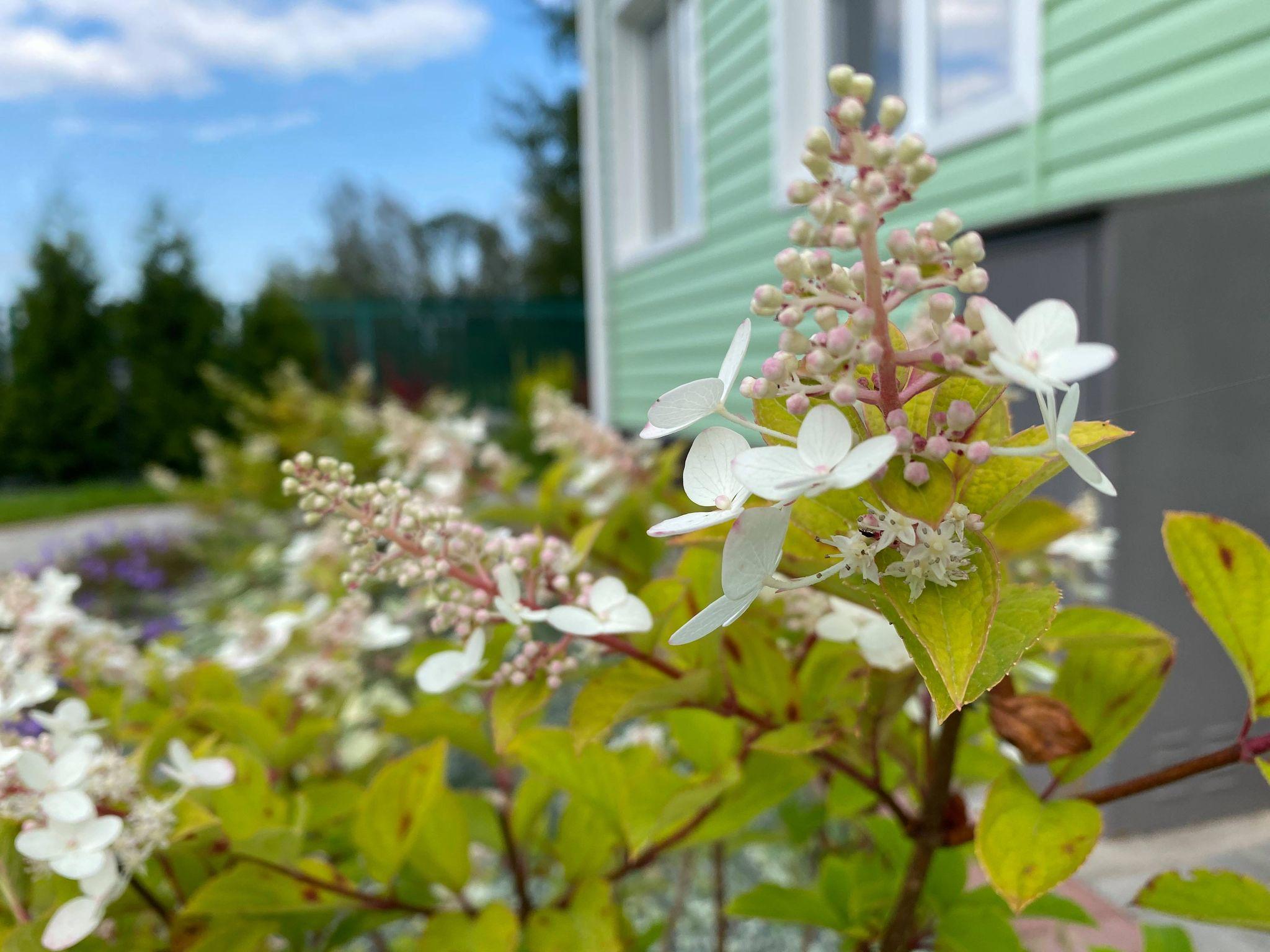 У гортензии сливочно-белые цветочки