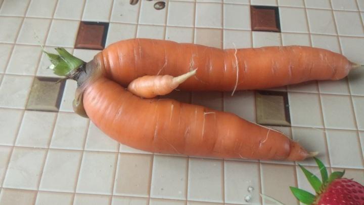 Пошлые морковки и картошка в виде сердца: в огородах Екатеринбурга вырос странный урожай