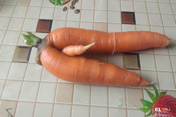 В этом году многие екатеринбуржцы удивились урожаю морковки