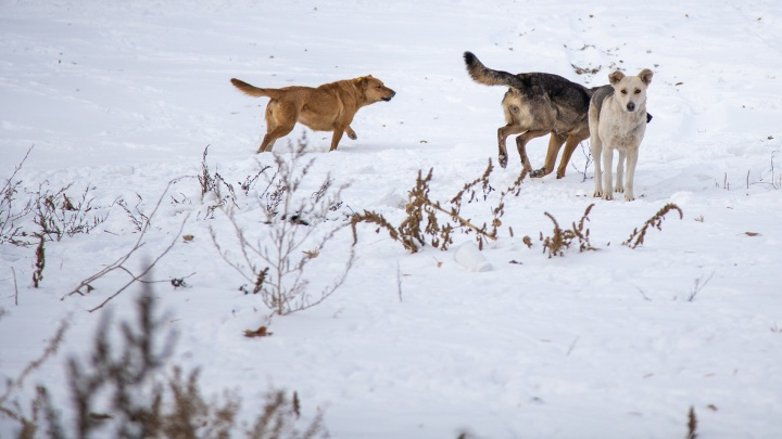 В Самарской области разработают закон об эвтаназии агрессивных животных
