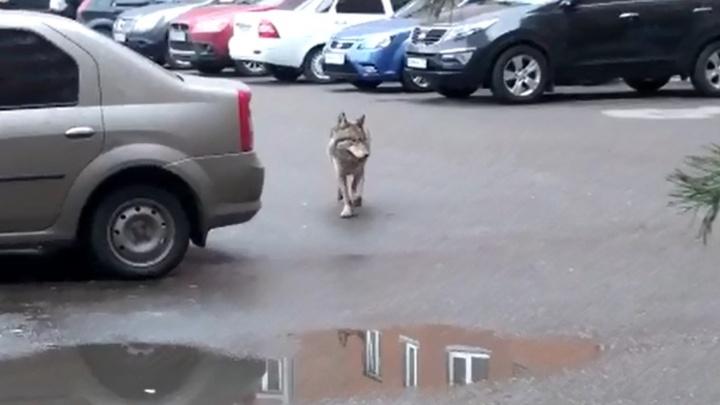 Жители Уфы заметили волка, который бегал возле одной из школ