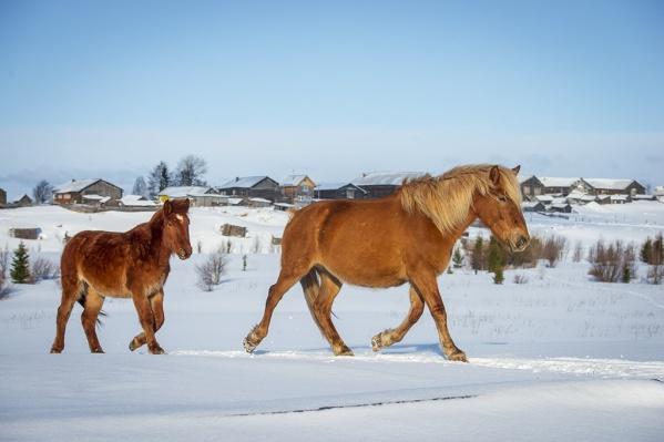 «Лошади приносят жизнь в это прекрасное и страшное белое безмолвие», — пишет Иван Толстов