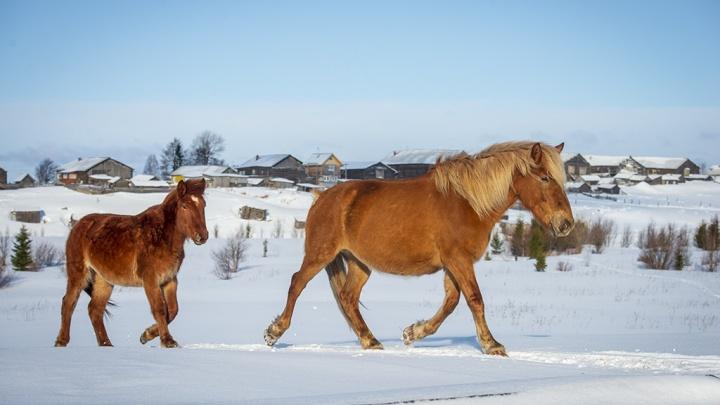 «Это дороже всех денег на свете»: как фотограф из Подмосковья спасает от забоя мезенских лошадей