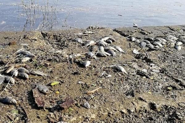 Мертвой рыбой усеян весь берег реки