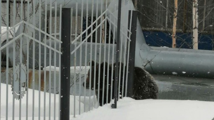 Медведь целый час гонял жителей Нижневартовска, пока его не сбил автобус: смотрите видео