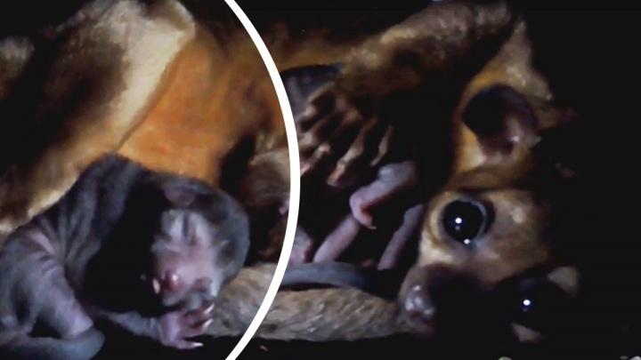 Космическое имя для кинкажу: в Ярославском зоопарке появился маленький зверек