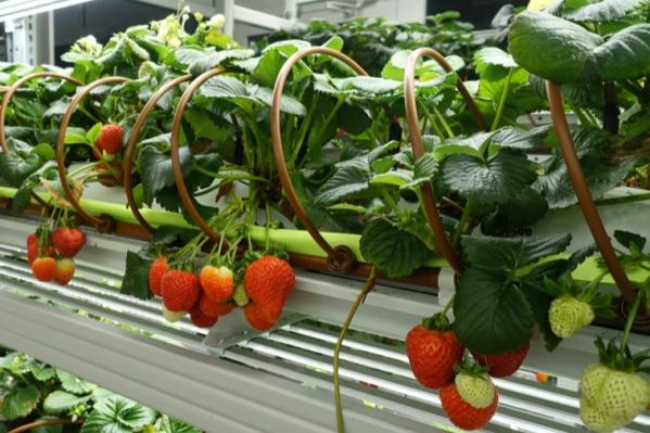 Предприниматели вырастили овощные культуры в условиях искусственного микроклимата в вертикальных фермах