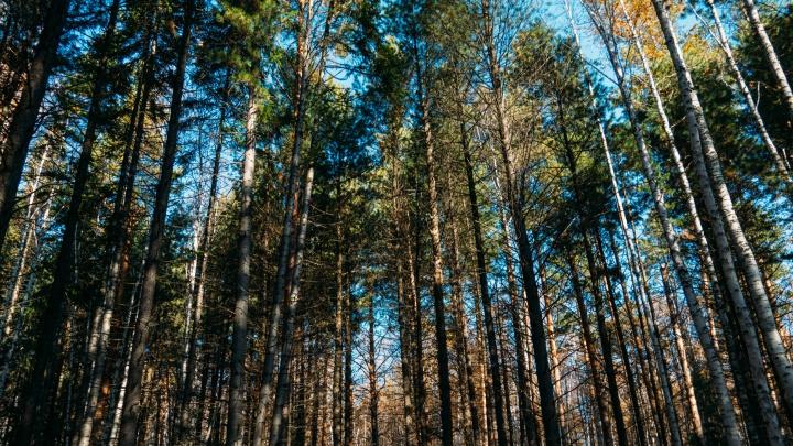 В Красноярке под вырубку отдали 20 гектаров сосняка. Кто и почему?