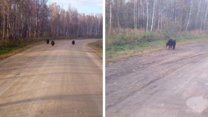 На дороге в Новосибирской области заметили трех бегущих медвежат