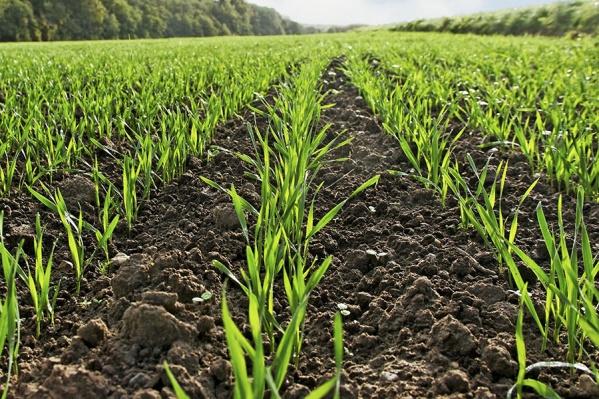 На самом раннем этапе вегетации зерновых можно заложить мощный потенциал урожая, используя надежные продукты для защиты семян
