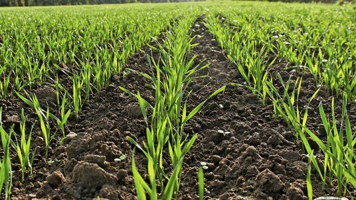 Всходы без форс-мажоров: как надежно защитить посевы зерновых