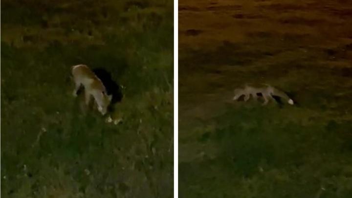 «Подходила три раза, очень голодная»: на Уктусе лисица вышла к людям