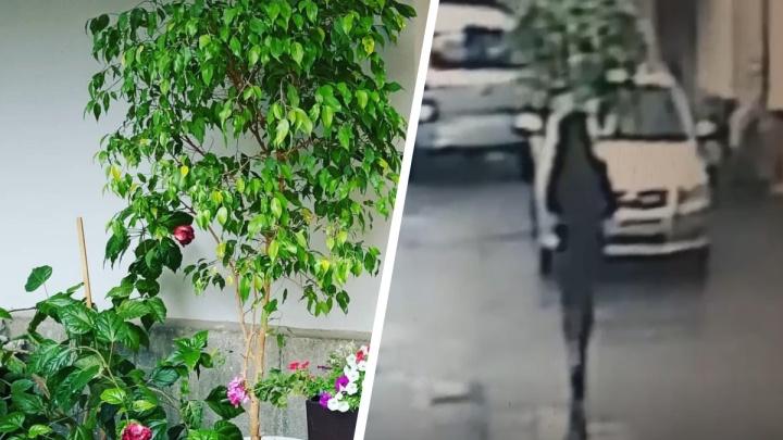 В Екатеринбурге хрупкая девушка украла дерево. Она унесла 40-килограммовый горшок, но попала на видео