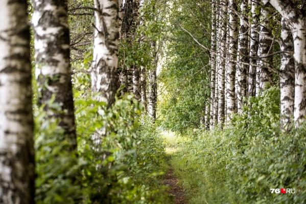 Скоро в лесах Ярославской области начнут расти подберезовики