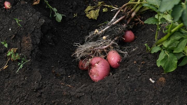 Как правильно хранить картошку и морковь: простые советы, которые спасут ваш урожай