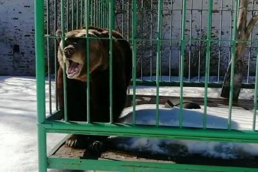 Медведица вышла и сладко зевнула на камеру