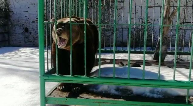 «Сразу попросила есть»: в Ярославле вышла из спячки медведица Маша. Фото