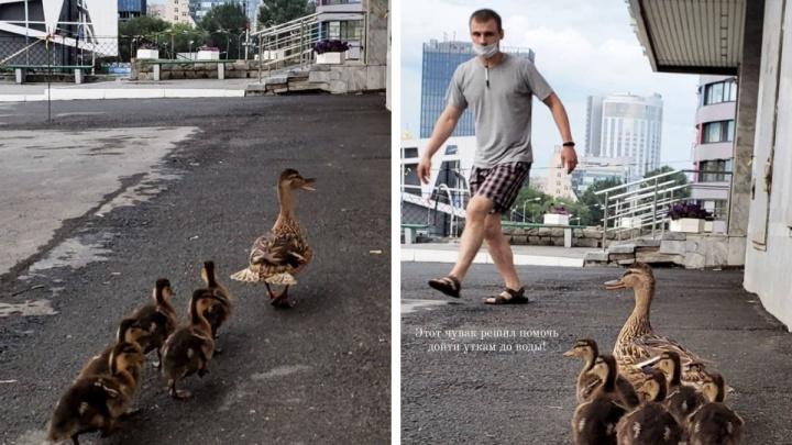 Утиные истории: в центре Екатеринбурга парень спас заблудившуюся утку и ее пушистых малышей. Милое видео