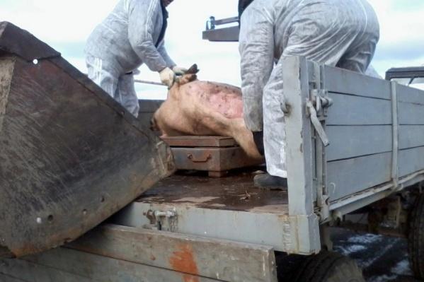 В хозяйстве уже погибло около десятка свиней