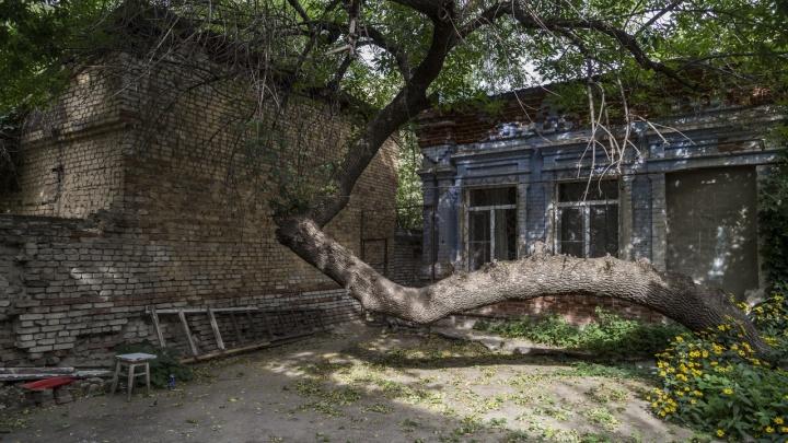Китайский жук сожрал исторический «лежачий» ясень в самом центре Волгограда