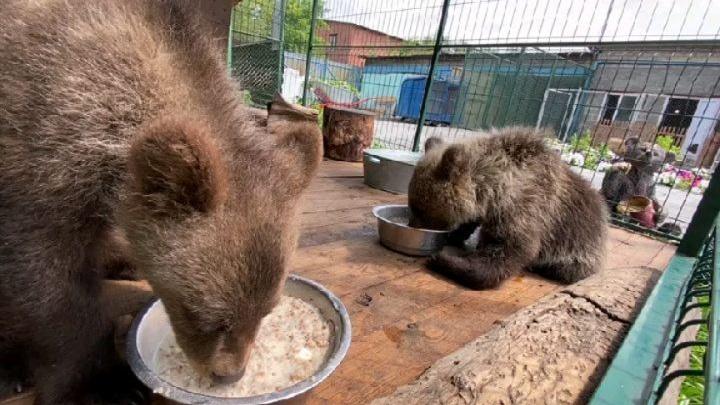 Медвежат, спасенных челябинским ветеринаром, отправили в реабилитационный центр в Хабаровском крае