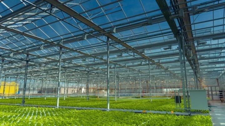 Федеральный агрохолдинг заявил о желании купить теплицы «Чурилово». Сделка вышла на финишную прямую