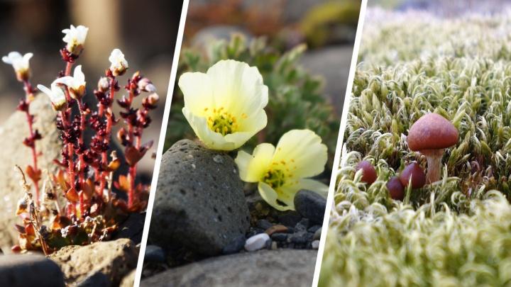 Прогулки по Арктике: как выживают растения на северном архипелаге, где лето длится пару месяцев