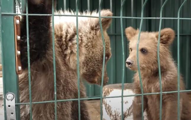 Из прикамского фонда защиты дикой природы изъяли больного медвежонка. Ранее там умер его собрат