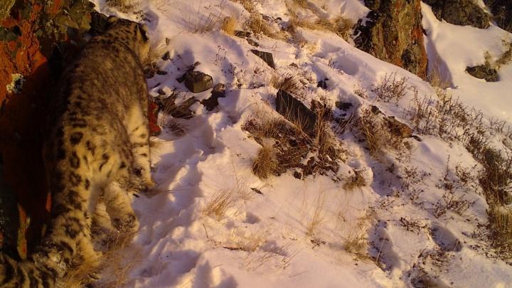В фотоловушку новосибирских экологов попал знаменитый снежный барс