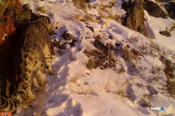 Это самый старый самец снежного барса в Алтае