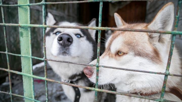 В красноярском приюте для хаски кончилось место: они срочно ищут хозяев животным